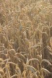 Wheatfield in Evening Sunlight Royalty Free Stock Image