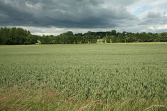 Wheatfield in France Royalty Free Stock Photography
