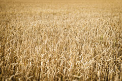Wheatfield Franconia Stock Images