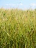 Wheatfield im Sommer Stockbilder