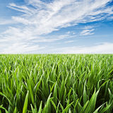 Wheatfield - juicy green grass with dew drops agai Royalty Free Stock Photo