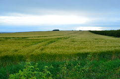 Wheatfield nel Regno Unito fotografie stock libere da diritti