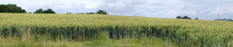 Wheatfield. Panoramic view of Wheatfield; green wheat; soon will be ready for harvest royalty free stock photos