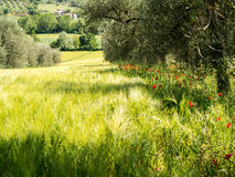 Wheatfield and Poppies in Early Summer Royalty Free Stock Photography