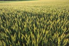 Wheatfield in reifender Stufe Stockfoto