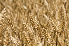 Wheatfield with ripe golden wheat Royalty Free Stock Images