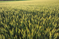 Wheatfield in ripening stage Stock Photo
