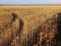 Wheatfield-Sommer-Landschaft mit Poppy Flowers Lizenzfreies Stockbild