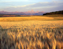 Wheatfield & Tetons. A wheat field in eastern Idaho with the Grand Teton Mountain Range in the background royalty free stock photo
