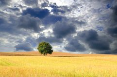 Wheatfield with tree Stock Image