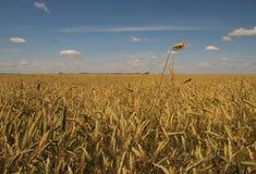Wheatfield und Himmel Stockfotografie