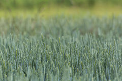 Wheatfield verde Imagens de Stock Royalty Free