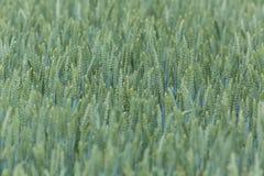 Wheatfield verde Foto de Stock