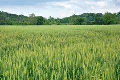 wheatfield w missouri. Zdjęcie Stock