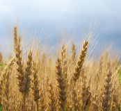 Wheatfield Royalty Free Stock Images