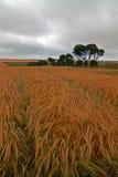 Wheatfields em St Margarets em Cliffes perto dos penhascos brancos de Dôvar em Grâ Bretanha Imagem de Stock Royalty Free