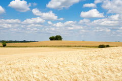 Field with ripe wheat, clouds in blue sky, midsummer  Stock Image