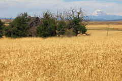 Wheatfields with Mt Adams in the background Stock Photos