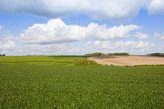 Wheatfields in springtime Royalty Free Stock Photo