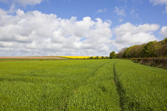 Wheatfields in springtime Royalty Free Stock Images