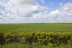 Wheatfields and the vale of york. A short hawthorn hedgerow with wheat and a view of the vale of york in the yorkshire wolds under a blue cloudy sky in Stock Images