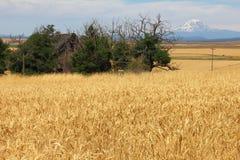 Wheatfields z Mt Adams w tle Zdjęcia Stock