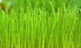 wheatgrass和露水 免版税库存照片