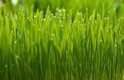 wheatgrass和露水 库存照片