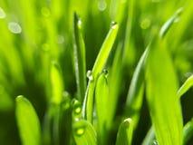 Wheatgrass - крупный план стоковые фото