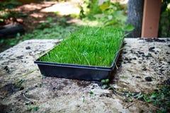 Wheatgrass Stock Photos