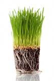 Wheatgrass Royalty Free Stock Image