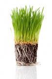 Wheatgrass Royalty-vrije Stock Afbeeldingen