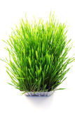 Wheatgrass Lizenzfreie Stockfotos