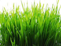 Wheatgrass Stock Photos