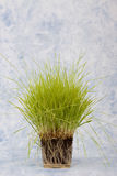 Wheatgrass Stock Photography