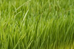 Wheatgrass Royalty Free Stock Photo