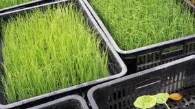 Wheatgrass Stockbild