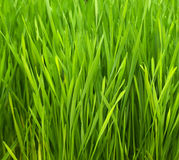 Wheatgrass Imagens de Stock Royalty Free