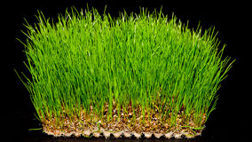 Wheatgrass Images libres de droits