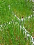 Wheatgrass Zdjęcia Royalty Free