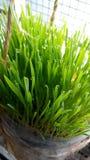 Wheatgrass stock foto
