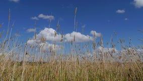 Wheatgrass auf dem Gebiet Stockfoto