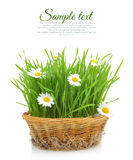 Wheatgrass and chamomile in wicker basket Royalty Free Stock Images
