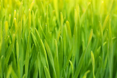 Wheatgrass close-up background. Wheatgrass macro shot, healthy raw plant Stock Photos