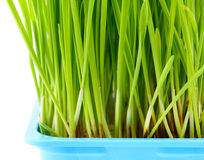 Wheatgrass close up Stock Photo