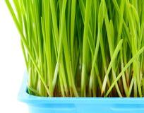 Wheatgrass close up Stock Photo