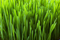 Wheatgrass close-up. Wheatgrass plant growing fro raw juicing Royalty Free Stock Images