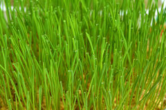 wheatgrass and dew Royalty Free Stock Photos