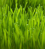 Wheatgrass and dew. Green wheatgrass and dew grow fresh stock photography