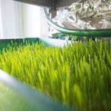 Wheatgrass dorośnięcie Obrazy Stock